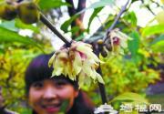 北京植物园赏早花蜡梅