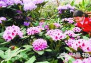 世界花卉大观园高山杜鹃提前迎春