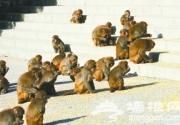 房山上方山景区60余只野生猕猴下山觅食