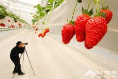 2012昌平世界草莓大会摄影-草莓天瀑