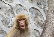 北京上方山变身花果山惊现60余只猕猴