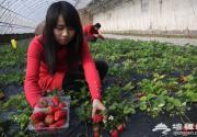 延庆草莓春节后进入盛果期