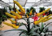 世界花卉大观园引进南非鬼切芦荟15朵花箭同时绽放