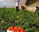 春日草莓别样红 撒欢大兴草莓采摘农家乐