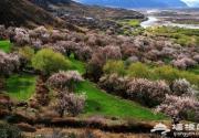 西藏林芝四月桃花狂 赏花全攻略