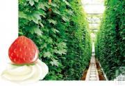 和草莓有个约会 2012京城草莓采摘攻略