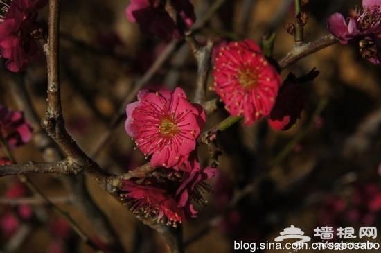 触摸北京3月春色 赏花行摄全攻略