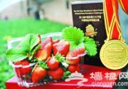 采金奖草莓 到京郊延庆康庄镇东官坊村