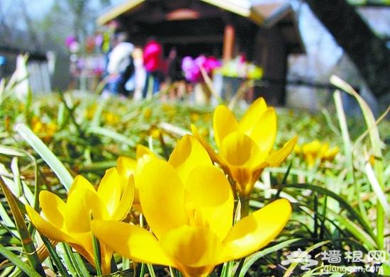 北京植物园 番红花开迎春来[墙根网]