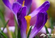 北京植物园番红花开 春季赏花指南