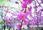 2012年玉渊潭樱花节缤纷开展