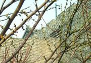 北京明城墙梅花文化节开幕