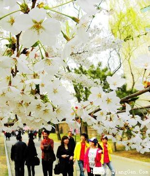 玉渊潭公园樱花节(摄影)