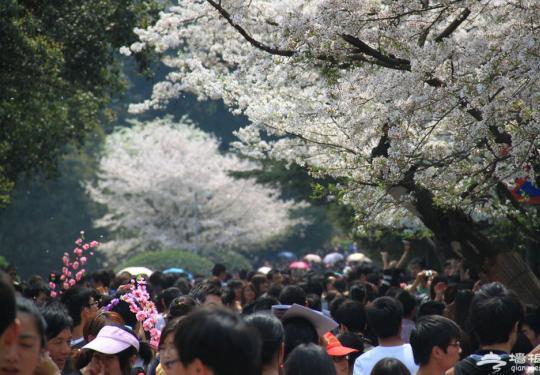 10万游客涌进武汉大学赏樱花