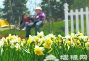 北京植物园洋水仙提前开放