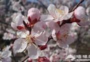 延庆:新庄堡万亩杏花林