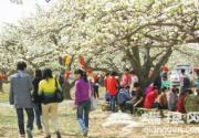 河北涿州梨花节引来众多京津客