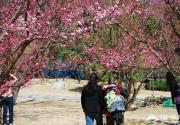 灿烂春光 北京植物园赏桃花