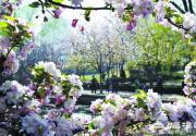 元大都城垣遺址公園海棠花節盛裝迎游客