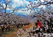 2012延庆杏花节开幕 地点、线路、攻略推荐