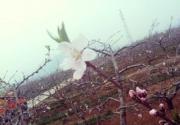 平谷桃花节明日开幕,市民赏花还需时日