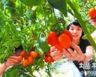 """通州有个""""番茄联合国"""""""