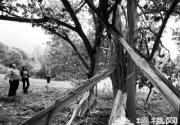 北京植物园杂交马褂木被雷劈 腰断皮脱落