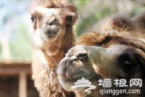 """天津动物园动物萌宝宝迎来首个""""儿童节"""""""