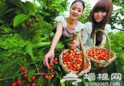 通州区樱桃文化节开幕 京郊5万亩樱桃迎来采摘季