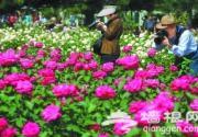 第四届北京月季文化节昨天开幕