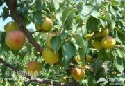 喇叭沟门乡600亩鲜杏进入采摘旺季