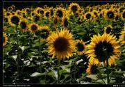 奥体森林公园的向日葵(摄影)