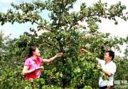 京郊延庆香营鲜食杏进入采摘旺季