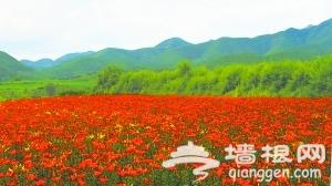 """延庆""""四季花海""""如何打造最美花期"""