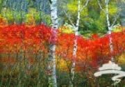 京郊满乡秋来早 九月便可赏红叶