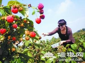 到永宁古镇 采酸甜树莓