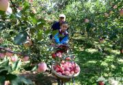 延庆苹果丰收了