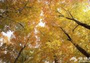 古树寻踪 北京10大古银杏树
