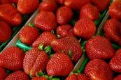 北京草莓采摘