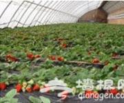 昌平优优草莓采摘园