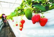 昌平草莓采摘时 热盼八方采摘客