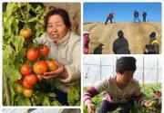 怀柔杨宋镇圣农园草莓成熟待采摘