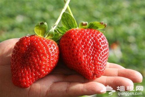 """城南采摘一日游 御景园草莓基地""""莓""""飞色舞"""