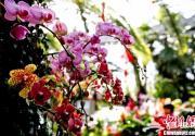 2013第9届北京植物园兰花展拉开帷幕