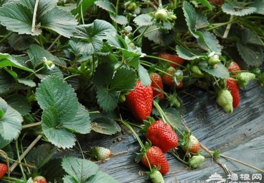 昌平兴寿丁丁草莓采摘园