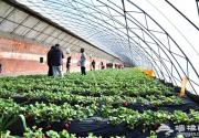 北京草莓采摘进入旺季 市民周末举家出游