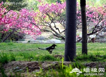 2019第31届北京植物园桃花节赏桃花(时间+线路+交通)