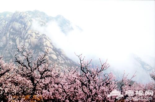 2019凤凰岭杏花节要来了 再过半个月这里将美成童话!