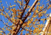 紫竹院公园 腊梅朵朵迎春开(摄影)