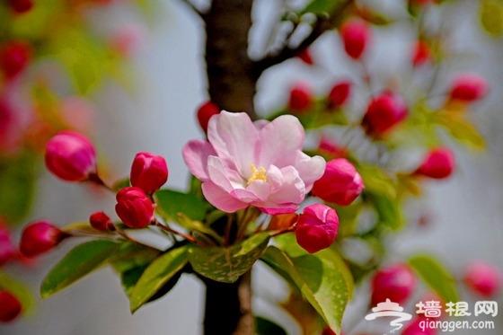 2013北京植物园桃花节 姹紫嫣红赏桃花[墙根网]